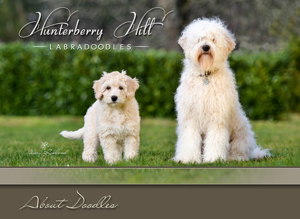 Hunterberry Hill Labradoodles About Doodles