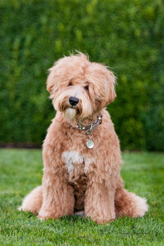 Puppies Available | Hunterberry Hill Labdradoodles